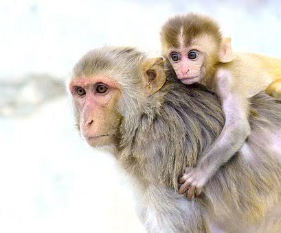Vaksin Corona Buatan Jenner Institute di Universitas Oxford Terbukti Efektif Mencegah Infeksi Covid-19 Pada Monyet